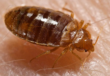 Bed Bug - CDC Photo small